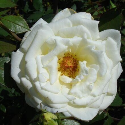 flower, plant, garden, Sony DSC-V3