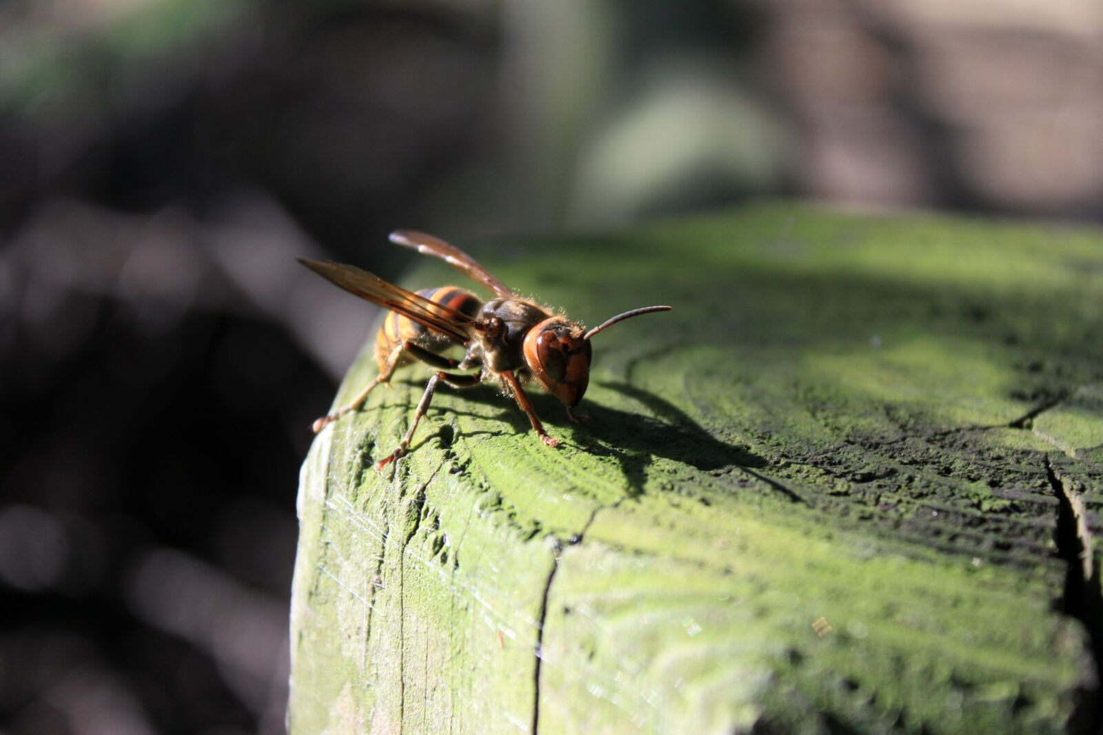 """Canon EOS 50D sample photo. """"Bee, the wasp, insects"""" photography"""