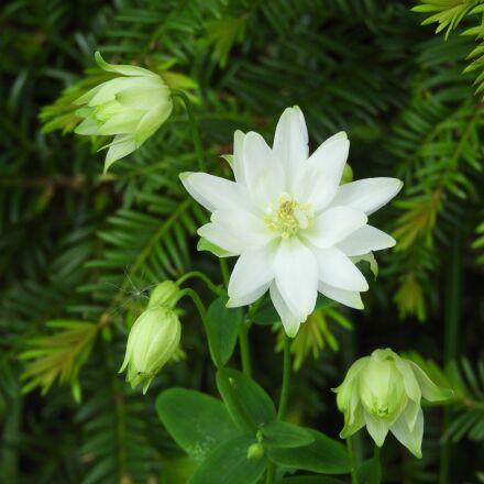 columbine white, flower, g, Nikon COOLPIX B700