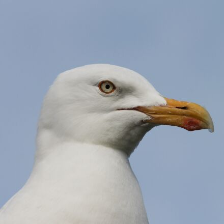 seagull, close up, head, Canon EOS 1100D