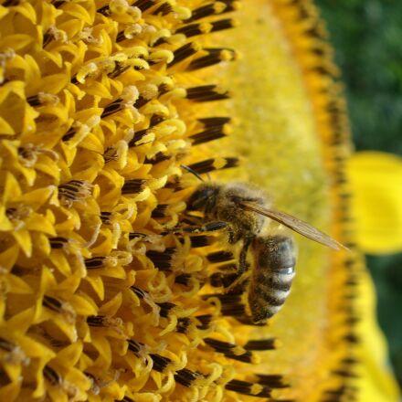 bee, nature, flower, Sony DSC-W30