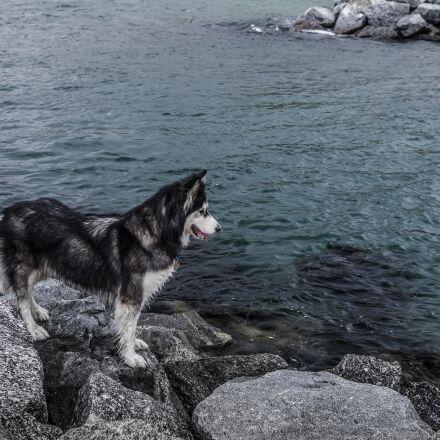 husky, sea, water, Canon EOS 5D MARK II