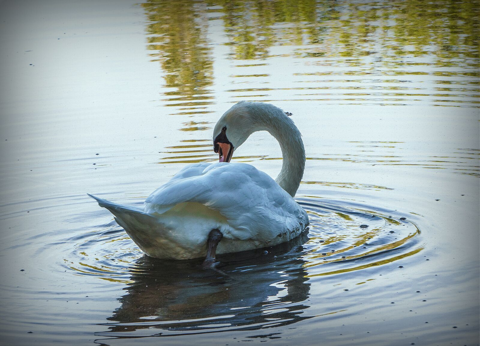 """Sony a6000 sample photo. """"Swan, ave, white"""" photography"""