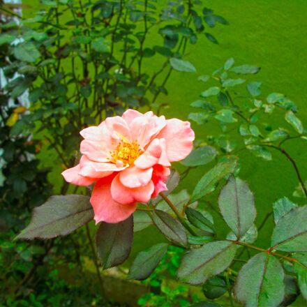 rose, Fujifilm FinePix AV100