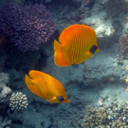 fish, red sea, coral, Canon POWERSHOT D30