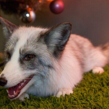 fox, animals, beasts, Canon EOS 550D