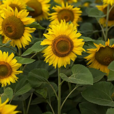 sunflower, field, summer, Canon EOS 5D MARK III
