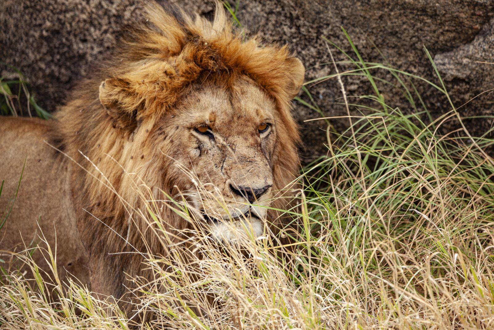 lion, animal, predator