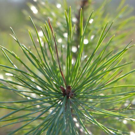 plant, tree, conifer, Fujifilm X-A1