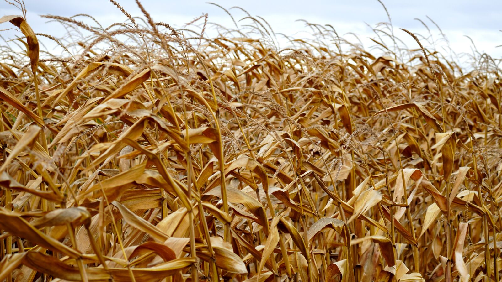 """Sony a6400 sample photo. """"Corn, cornfield, agriculture"""" photography"""