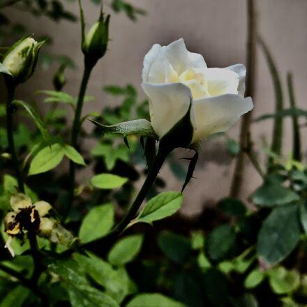 rose, flower, nature, Apple iPhone 6s