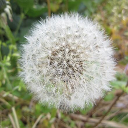dandelion, fluff, white, Canon IXY DIGITAL 510 IS