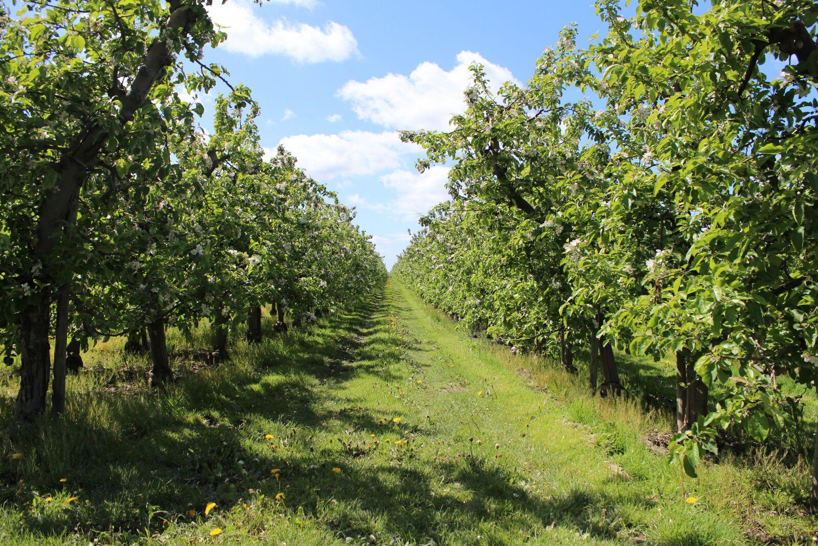 "Canon EOS 600D (Rebel EOS T3i / EOS Kiss X5) sample photo. ""Apple, tree, fruit"" photography"