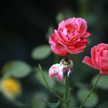 plant, rose, still life, Canon EOS 6D