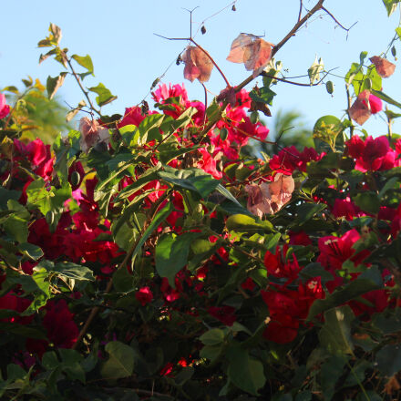 flowers, nature, Canon EOS REBEL T5I