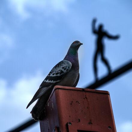 dove, sky, Nikon D40X
