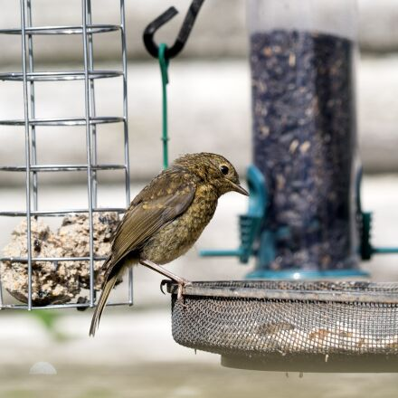 garden birds, feeding, nature, Panasonic DMC-G3