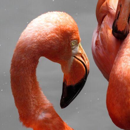 exotic, aquatic bird, flamingo, Canon POWERSHOT SX520 HS