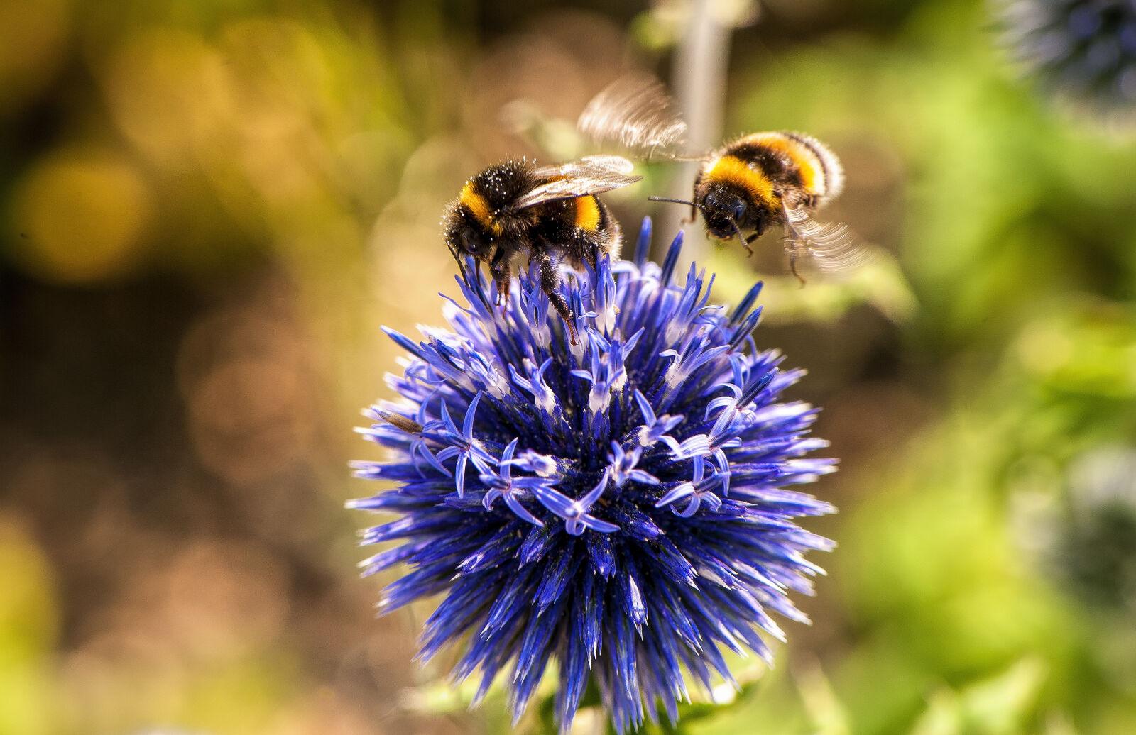 "Nikon D700 sample photo. ""Animal, bees, bloom, blooming"" photography"