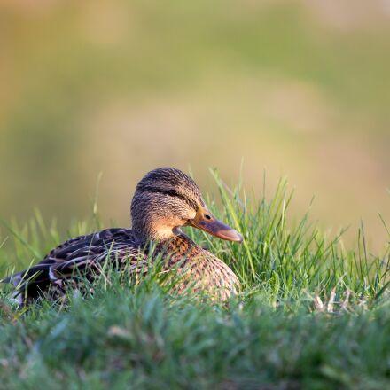 duck, grass, bokeh, Canon EOS 60D
