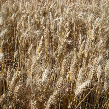 wheat, cereals, agriculture, Nikon COOLPIX L19