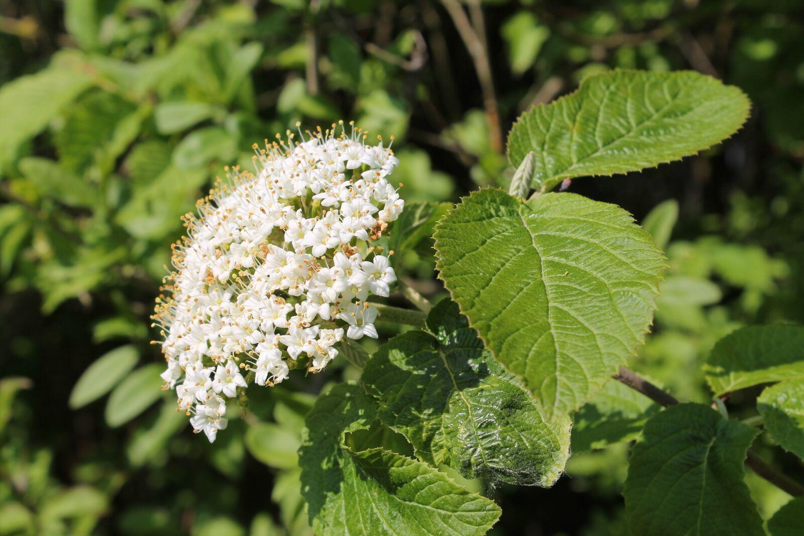 "Canon EOS 1100D (EOS Rebel T3 / EOS Kiss X50) sample photo. ""Elderberry flowers, white flowers"" photography"