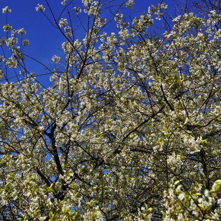 apple tree, apple tree, Sony SLT-A99V