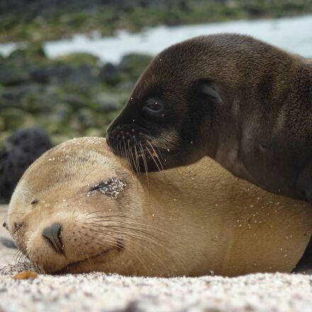 sea lions, seals, mammals, Panasonic DMC-ZS3