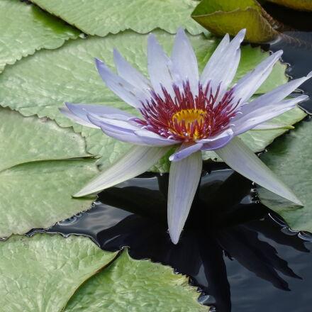 flower, garden, pond, water, Sony DSC-QX30