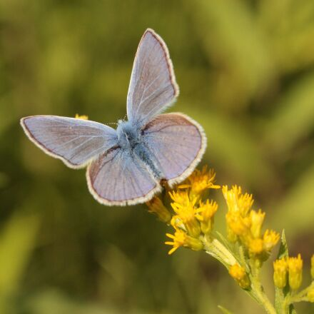 common blue, butterfly, insect, Canon EOS 600D