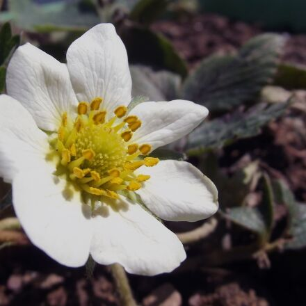 flower, strawberry flower, white, Fujifilm FinePix S2980