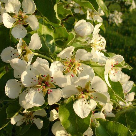 flower, nature, tree, Sony DSC-V3