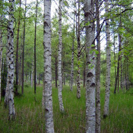 wood, nature, landscape, Sony DSC-P73