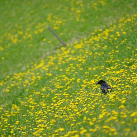 crow, volatile, bird, Sony ILCE-7M2