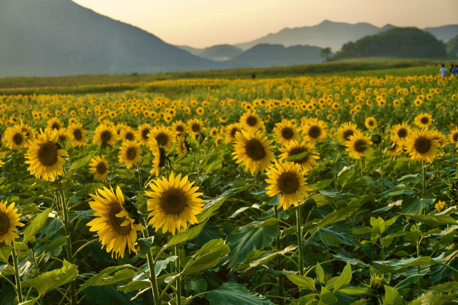"Sony a6400 sample photo. ""Sunflower, mountain, still life"" photography"