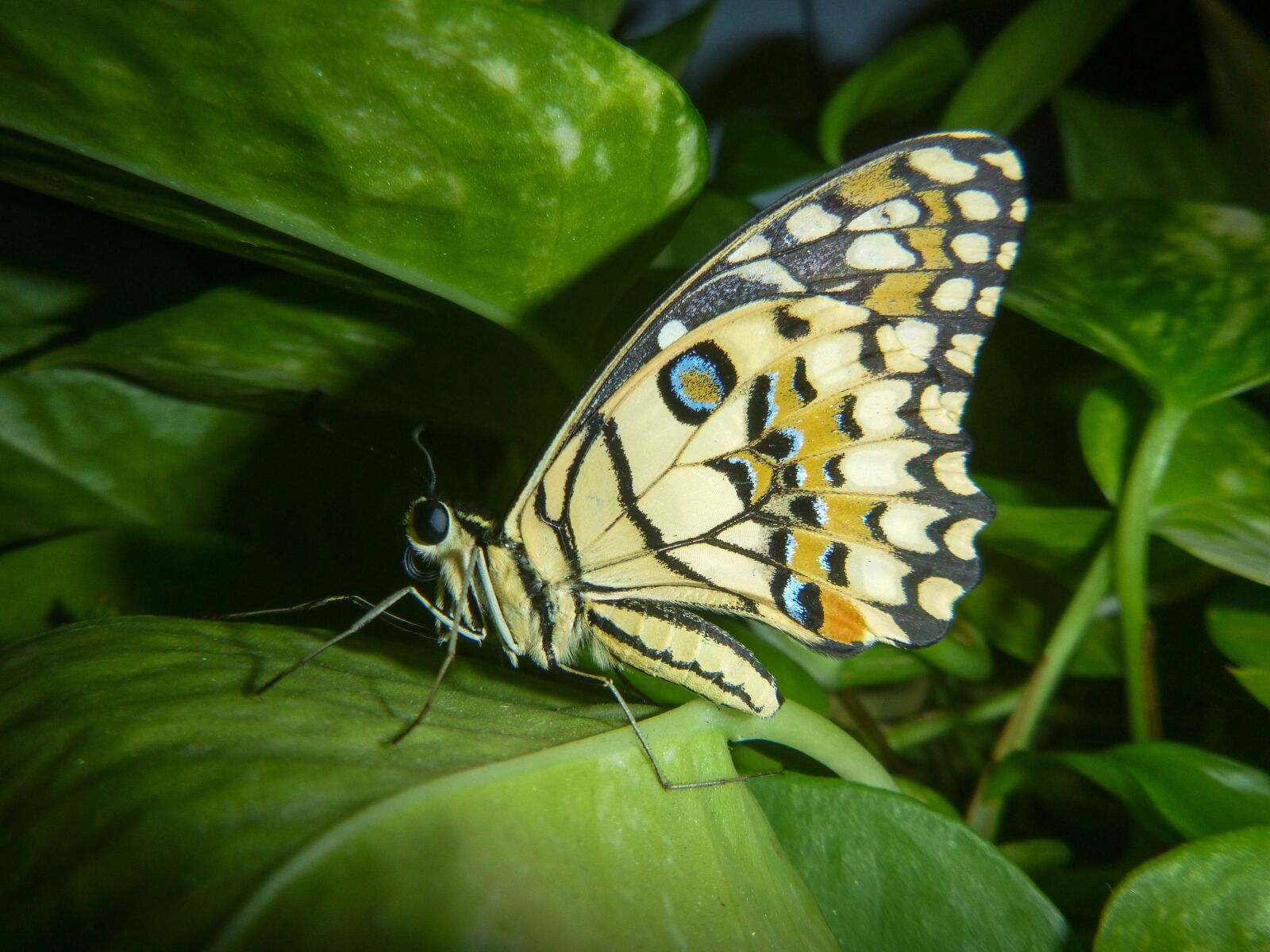singapore, butterfly, green