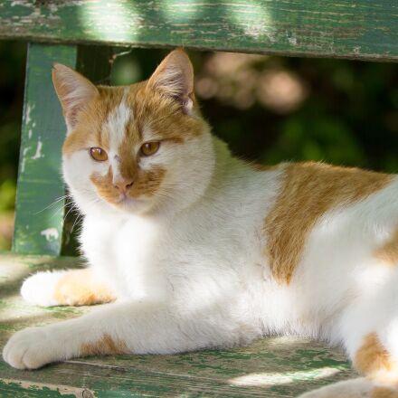 cat, animals, pet, Canon EOS 60D