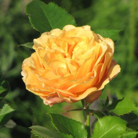 ranunculus, flower, orange, Canon POWERSHOT SX1 IS