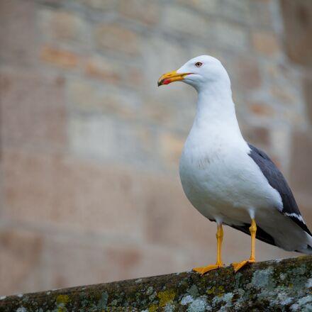 animal, bird, seagull, Canon EOS 5D MARK II