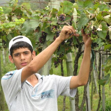 collect, grape, vineyard, wineyard, Canon POWERSHOT A710 IS