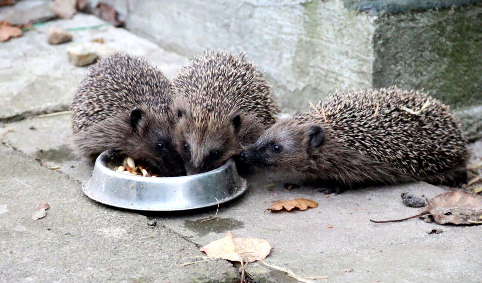 "Canon EOS 70D sample photo. ""Hedgehog, animals, prickly animals"" photography"