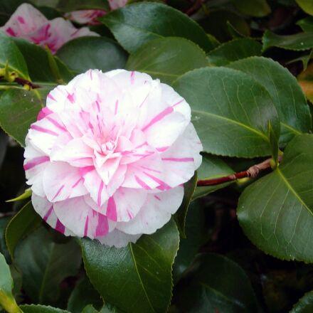 camellia, bloom, flower, Sony DSC-P10