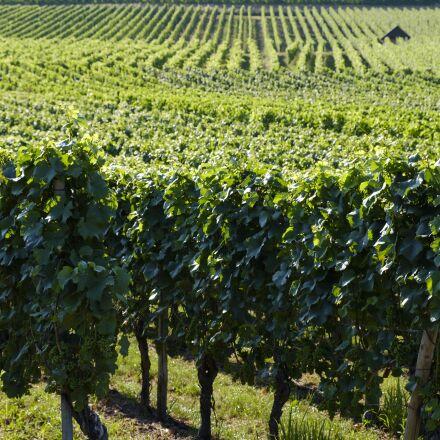 grapes, vines, vine, Fujifilm X-T2