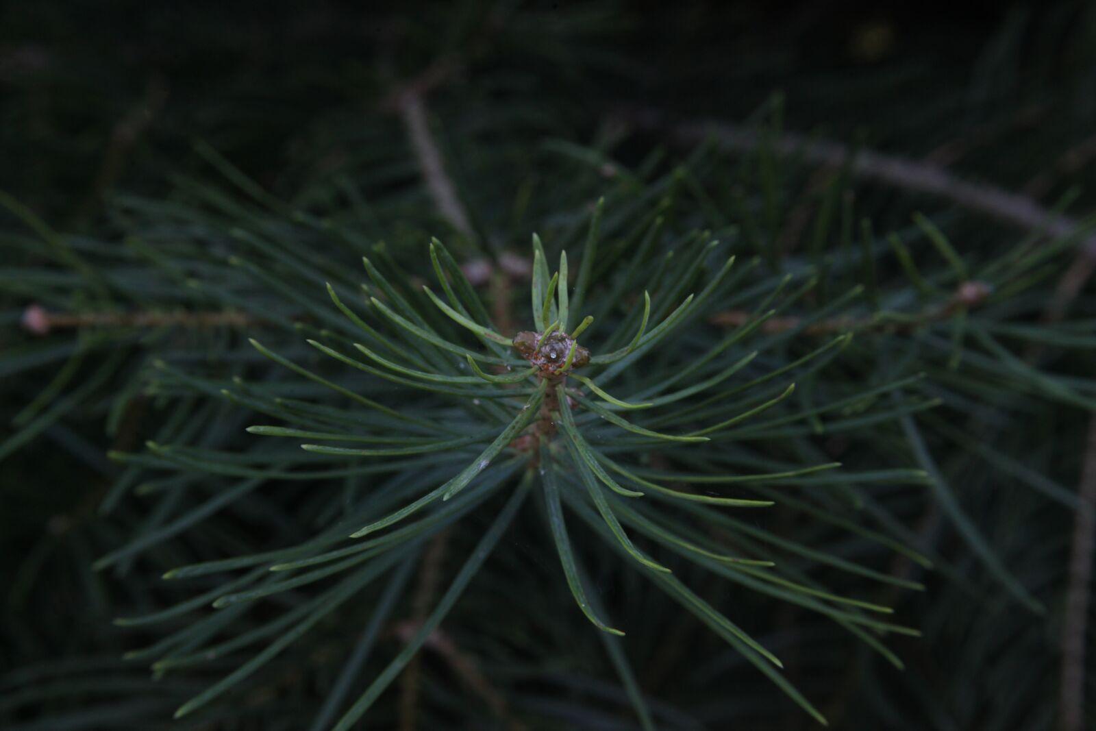 "Canon EOS 5D Mark II sample photo. ""Pine, wild nature, needles"" photography"