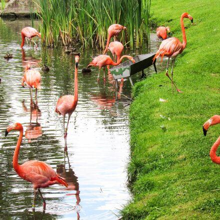 flamingo, flock, riverbank, animal, Canon POWERSHOT SX520 HS