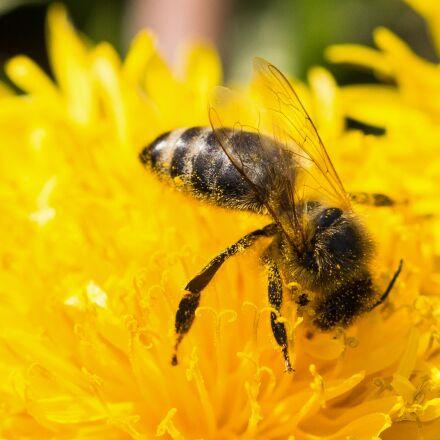 bee, dandelion, pollen, Canon EOS 6D