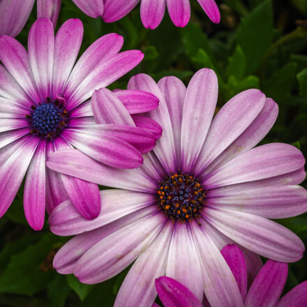 pink, petaled, flower, with, Pentax K-30