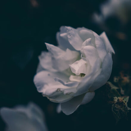 flower, flowers, rose, soft, Nikon D5100