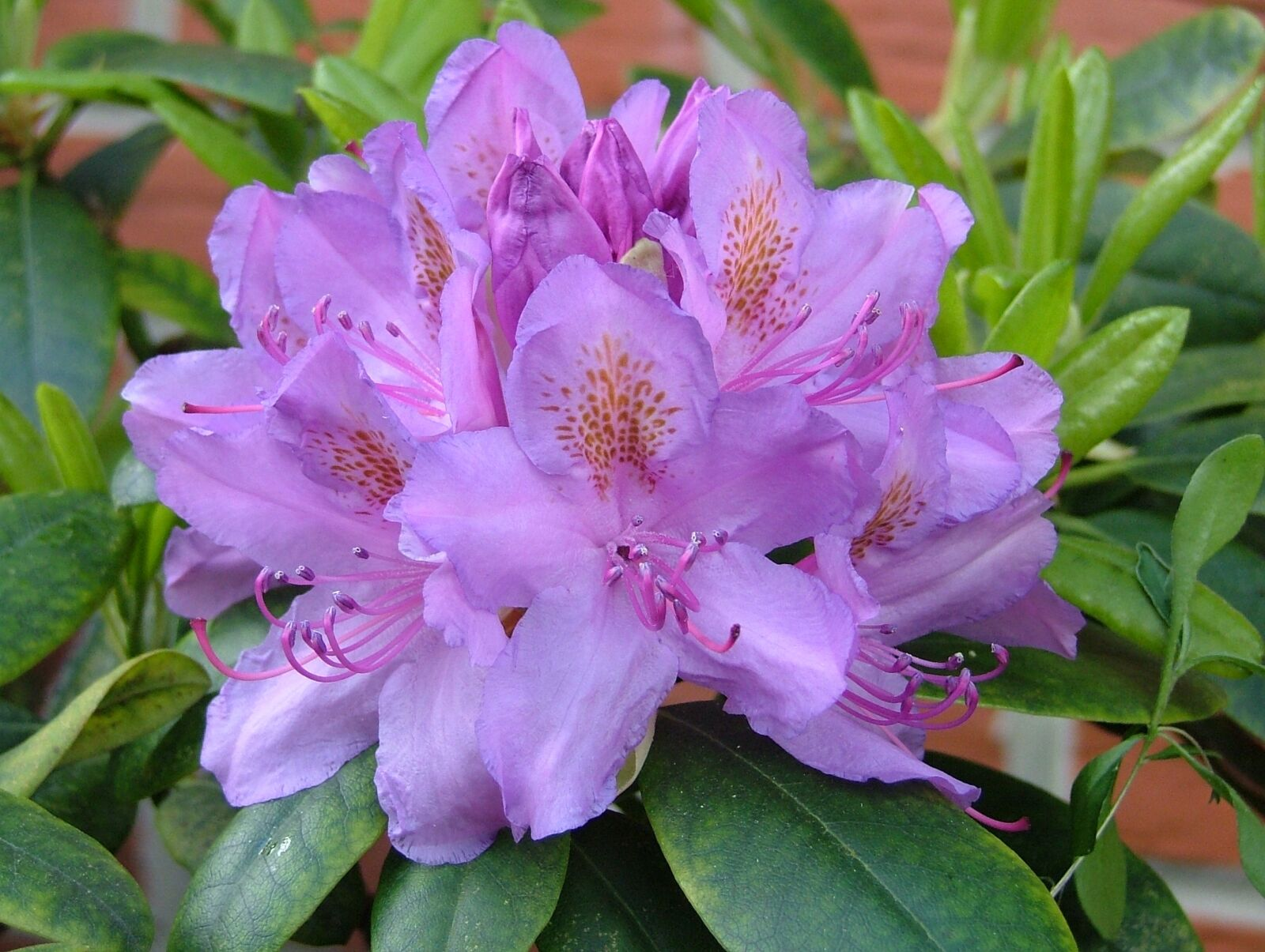 flowers, rhododendron, flowers purple