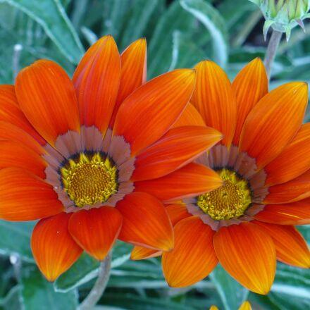 flowers, nature, spring, Panasonic DMC-LZ7